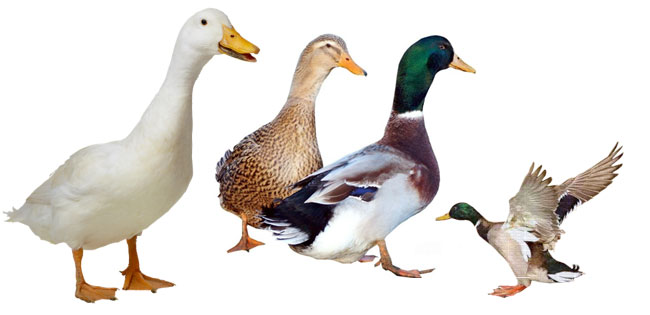 Les canards